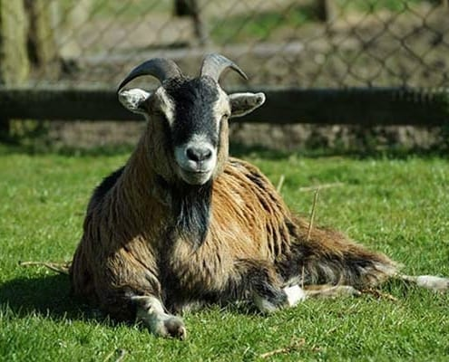 Brockswood animal sanctuary - goat